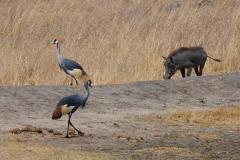 Simbabwe, Hwange Nationalpark, Elephants Eye, Kronenkraniche und Warzenschwein
