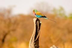 Simbabwe, Hwange Nationalpark, Elephants Eye, Gabelracke