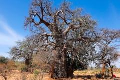 Simbabwe, Afrikanischer Baobab