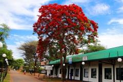 Simbabwe, Victoria Falls, Flammenbaum