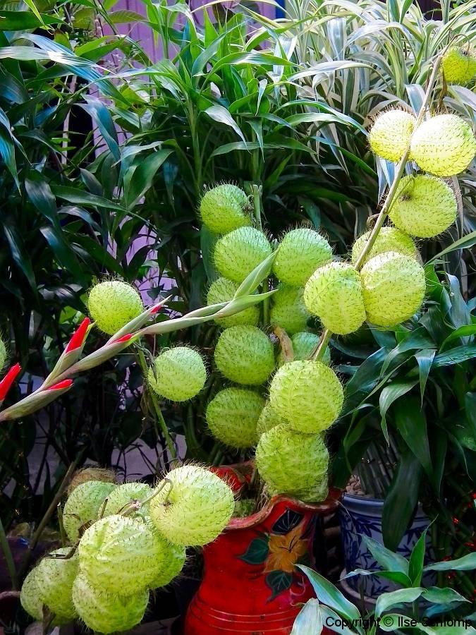 Sumatra, Berastagi, Markt, Ballonpflanze