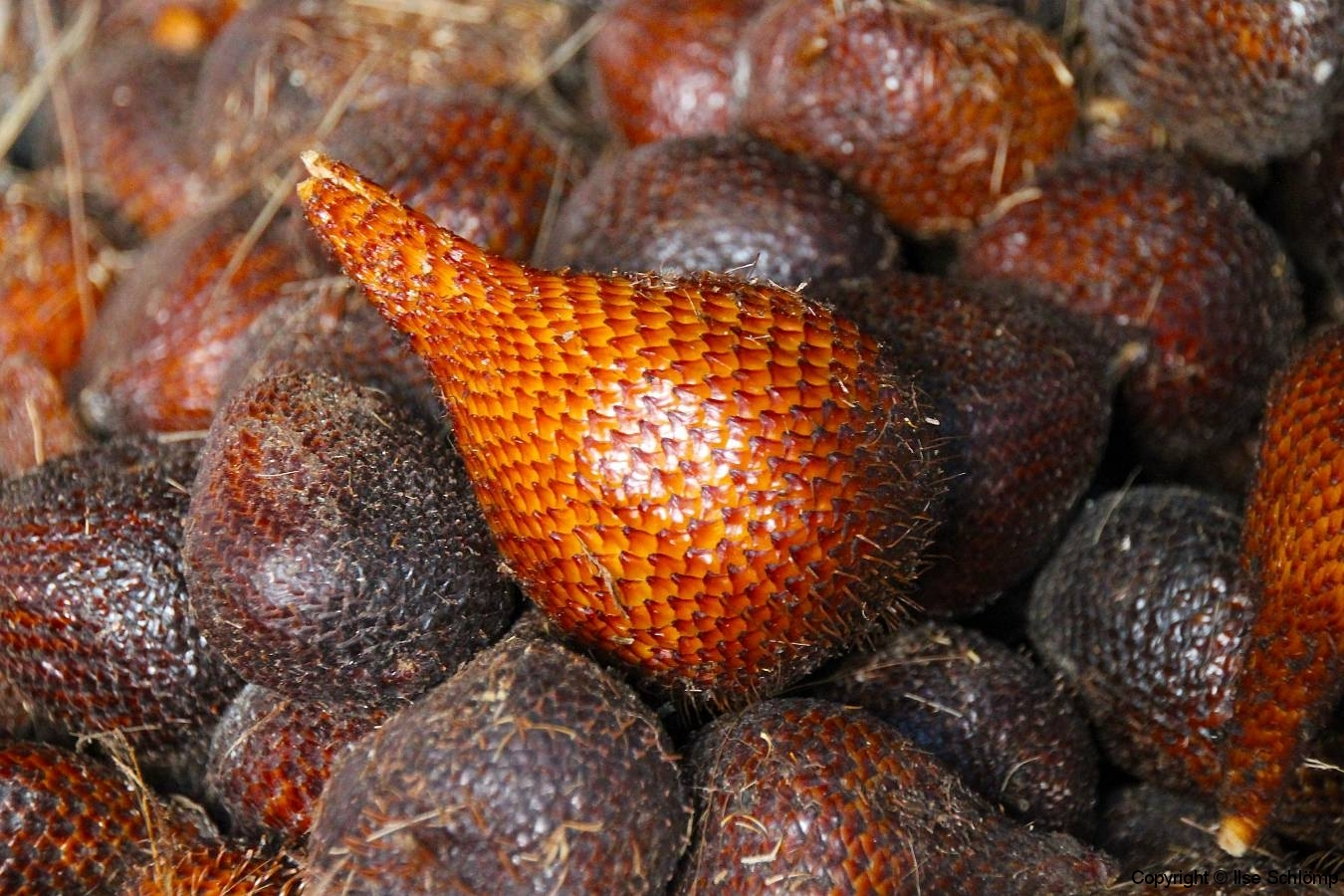 Sumatra, Berastagi, Markt, Schlangenhautfrucht