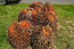 Sumatra, Palmölfrucht