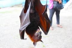 Sumatra, Flughund
