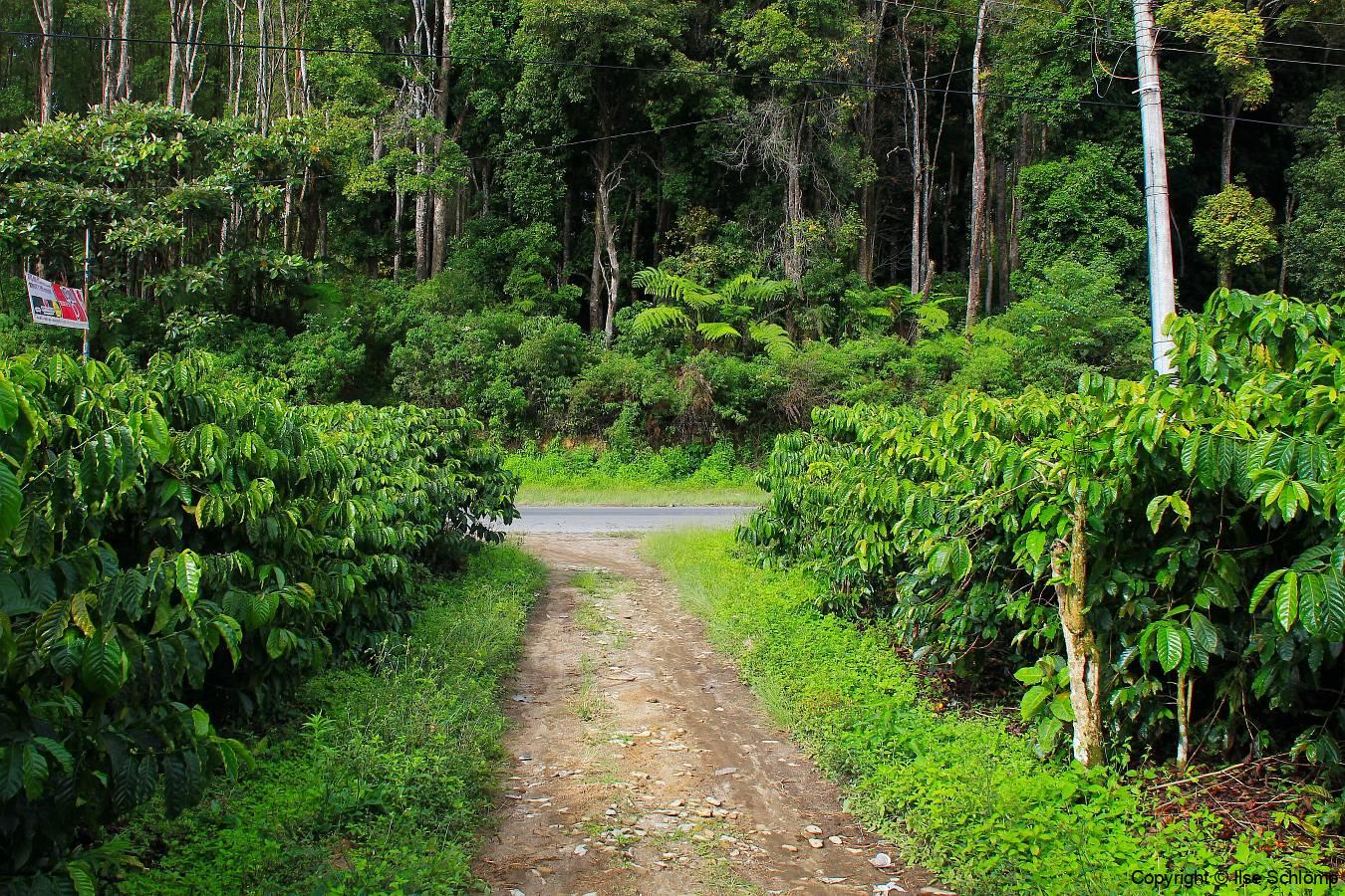 Sumatra, Besuch einer Kaffeeplantage