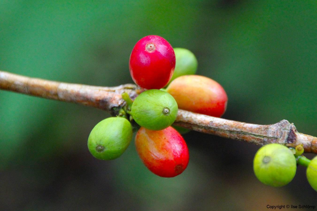 Sumatra. Kaffeekirschen