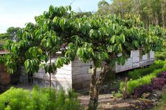 Sumatra, Kaffeebaum