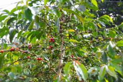 Sumatra Kaffeestrauch mit Kaffeekirschen