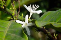 Sumatra, Kaffeeblüte