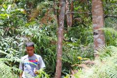 Sumatra, Unser Fahrer schneidet Harz vom Weihrauchbaum