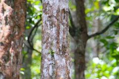 Sumatra, Weihrauchbaum