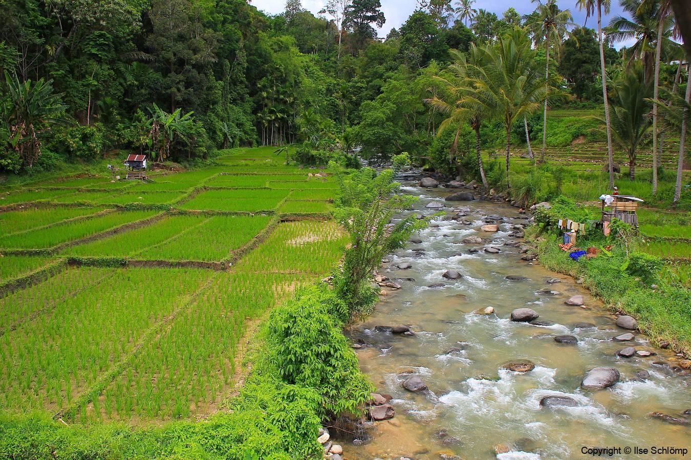 Sumatra, Umgebung Bukittinggi, Reisfelder