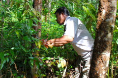 Sumatra. Zimtbaum