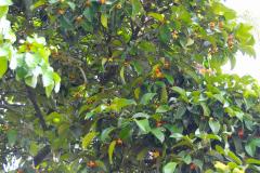 Sumatra, Mangostanbaum