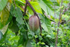 Sumatra, Kakaopflanze