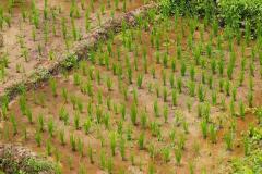 Sumatra, Umgebung Bukittinggi, Reispflanzen