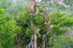 Sumatra, Umgebung Bukittinggi, Makaken