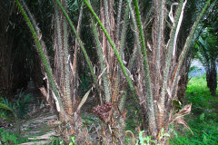 Sumatra, Salakpalme mit Schlangenhautfrucht