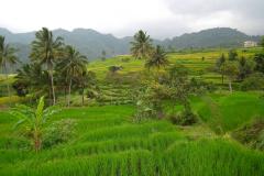 Sumatra, Umgebung Padang, Reisfelder