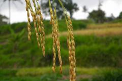 Sumatra, Umgebung Padang, Reispflanze