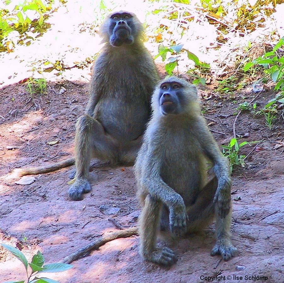 Tansania, Lake Manyara Nationalpark, Paviane