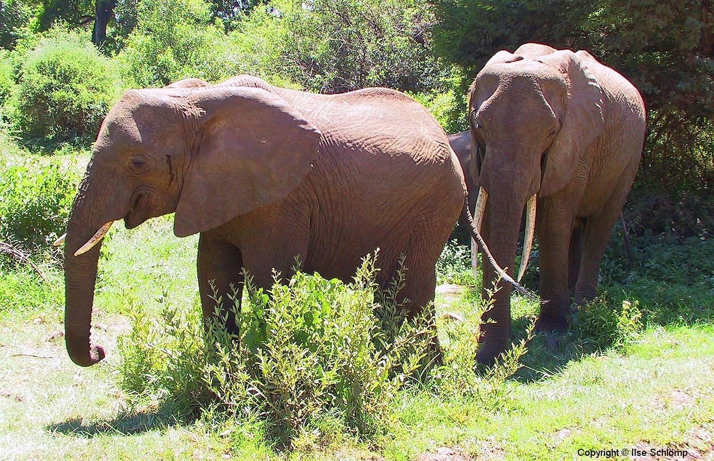 Tansania, Lake Manyara Nationalpark, Elefanten