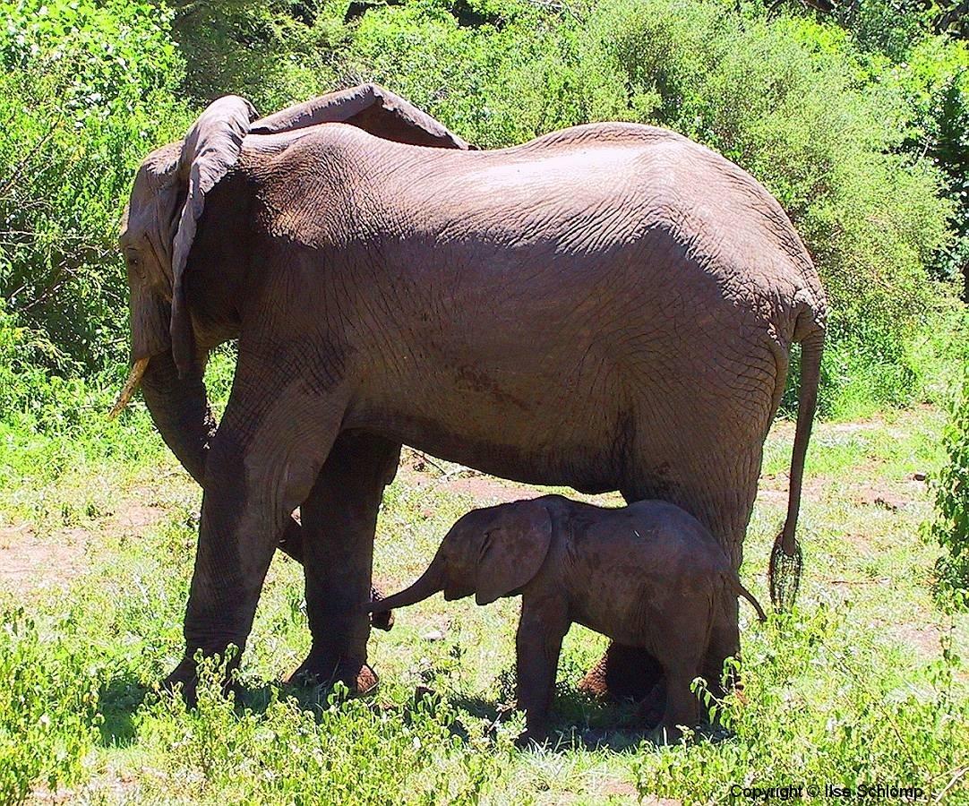 Tansania, Lake Manyara Nationalpark, Elefantenmutter mit Kalb
