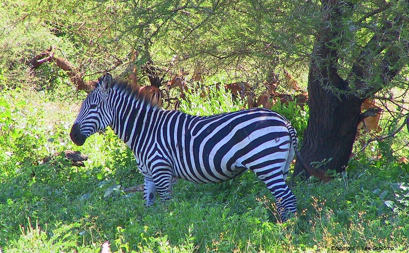 Tansania, Lake Manyara Nationalpark, Zebra