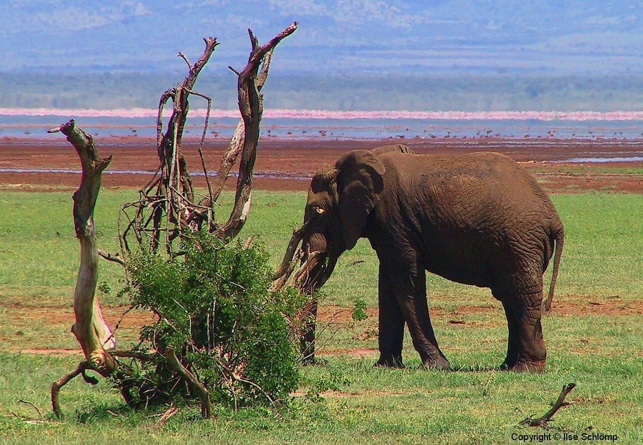 Tansania, Elefant vor dem Manyara-See