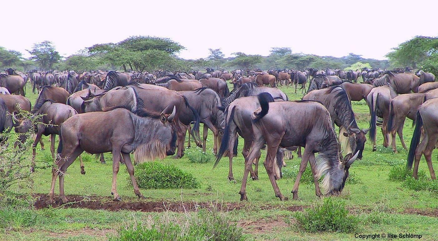Tansania, Serengeti, Gnuwanderung