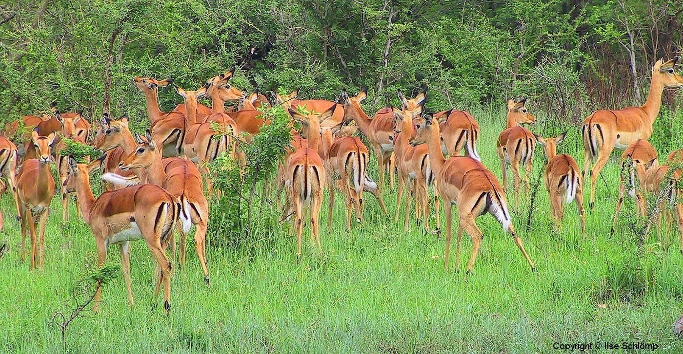Tansania, Serengeti, Impalas