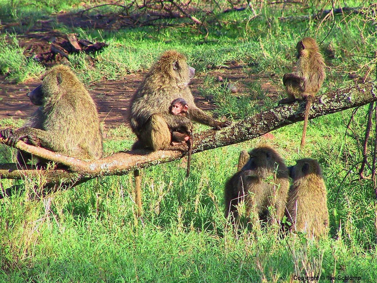 Tansania, Serengeti, Paviane