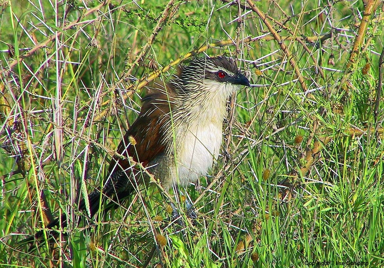 Tansania, Serengeti, Dieser Vogel ist perfekt an seine Umwelt angepasst