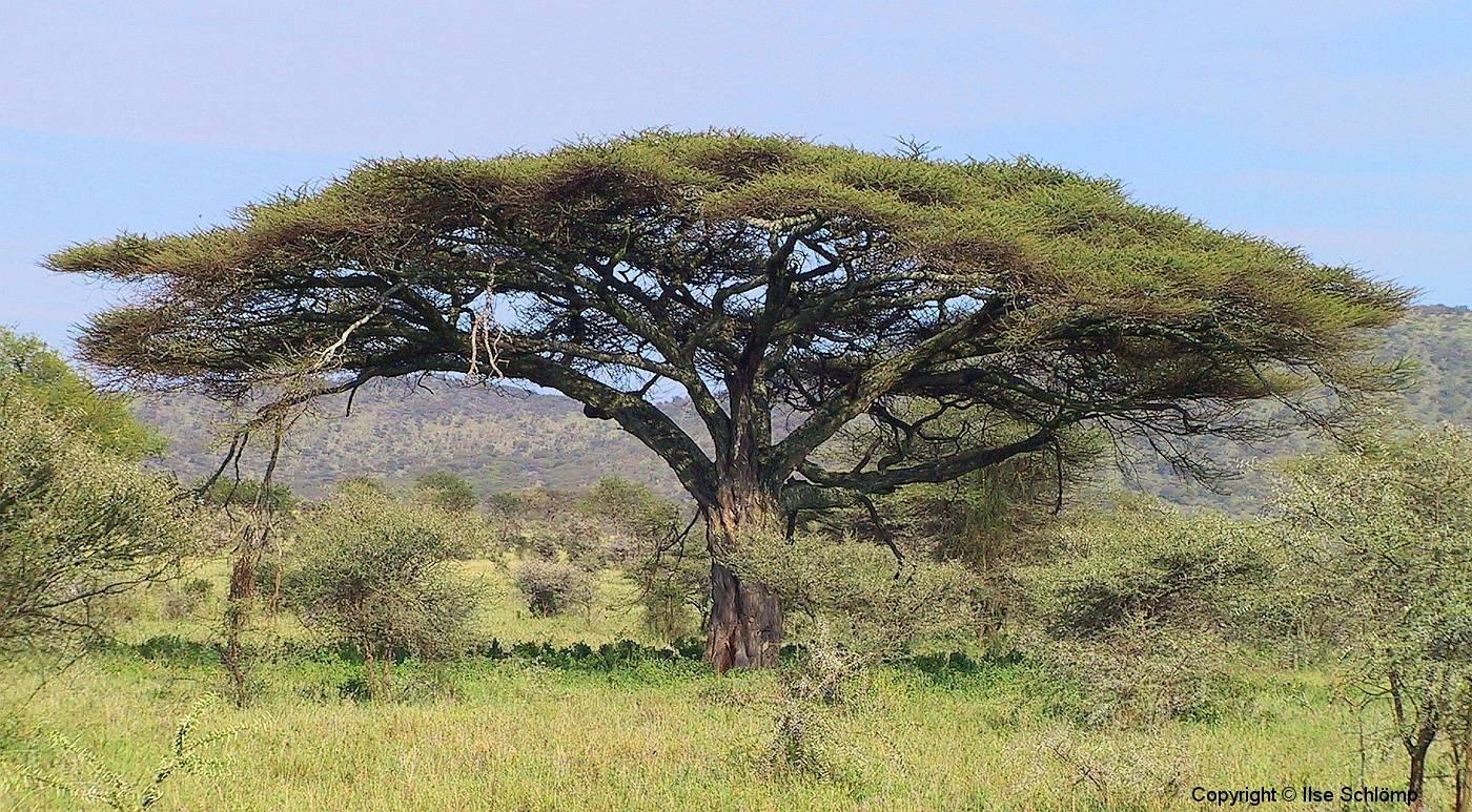 Tansania, Serengeti, Wunderschön ausladende Akazie