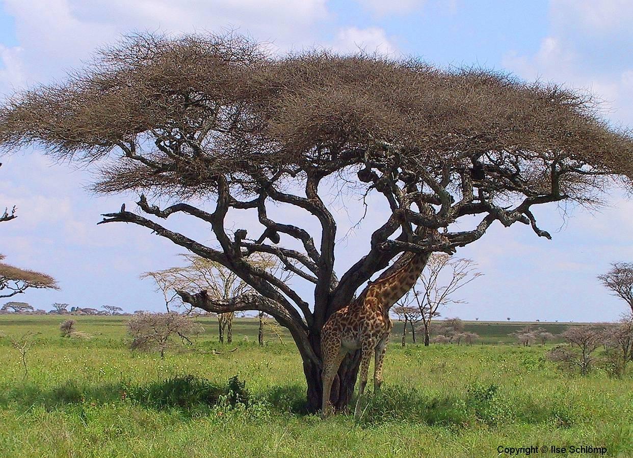 Tansania, Serengeti, Die Giraffe scheint mit der Akazie zu verschmelzen