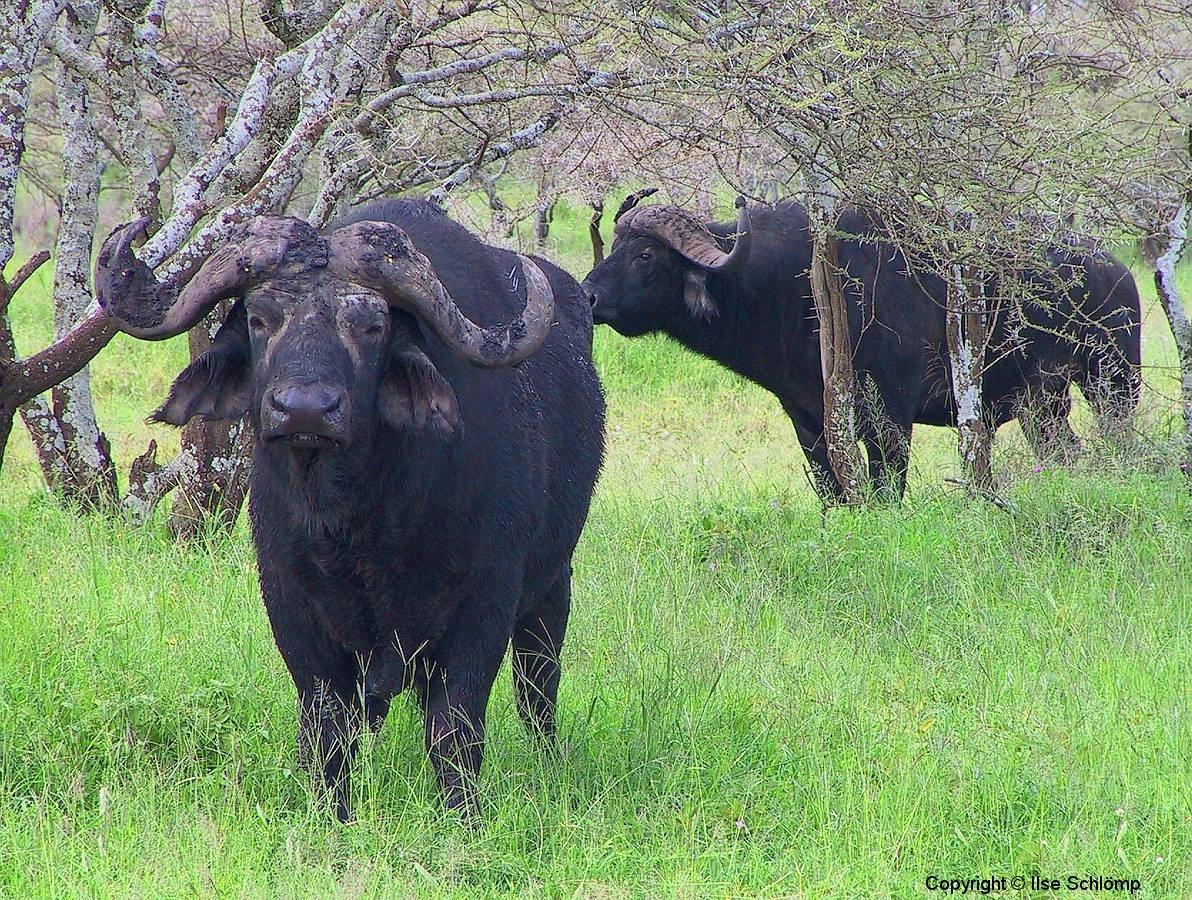 Tansania, Serengeti, Kaffernbüffel