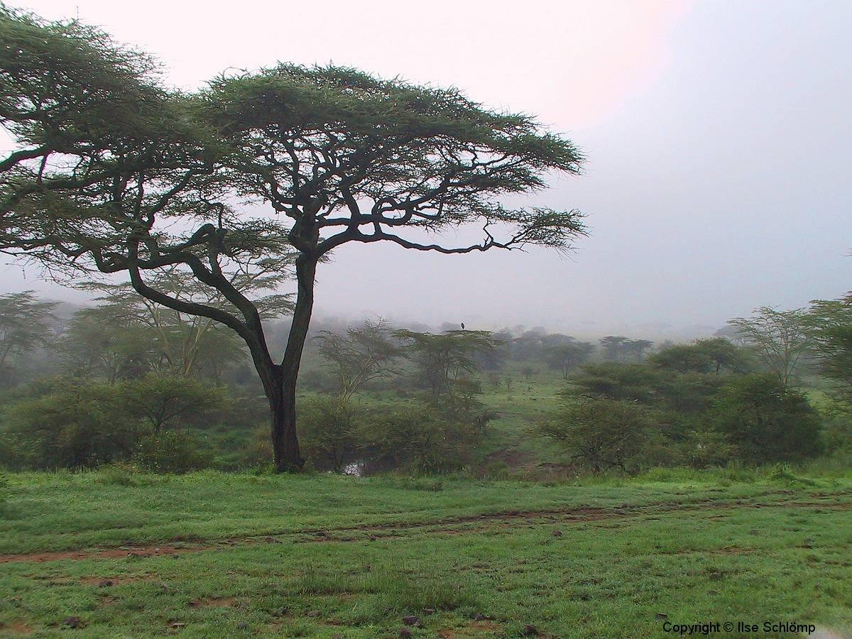 Tansania, Serengeti, Akazien im Frühnebel