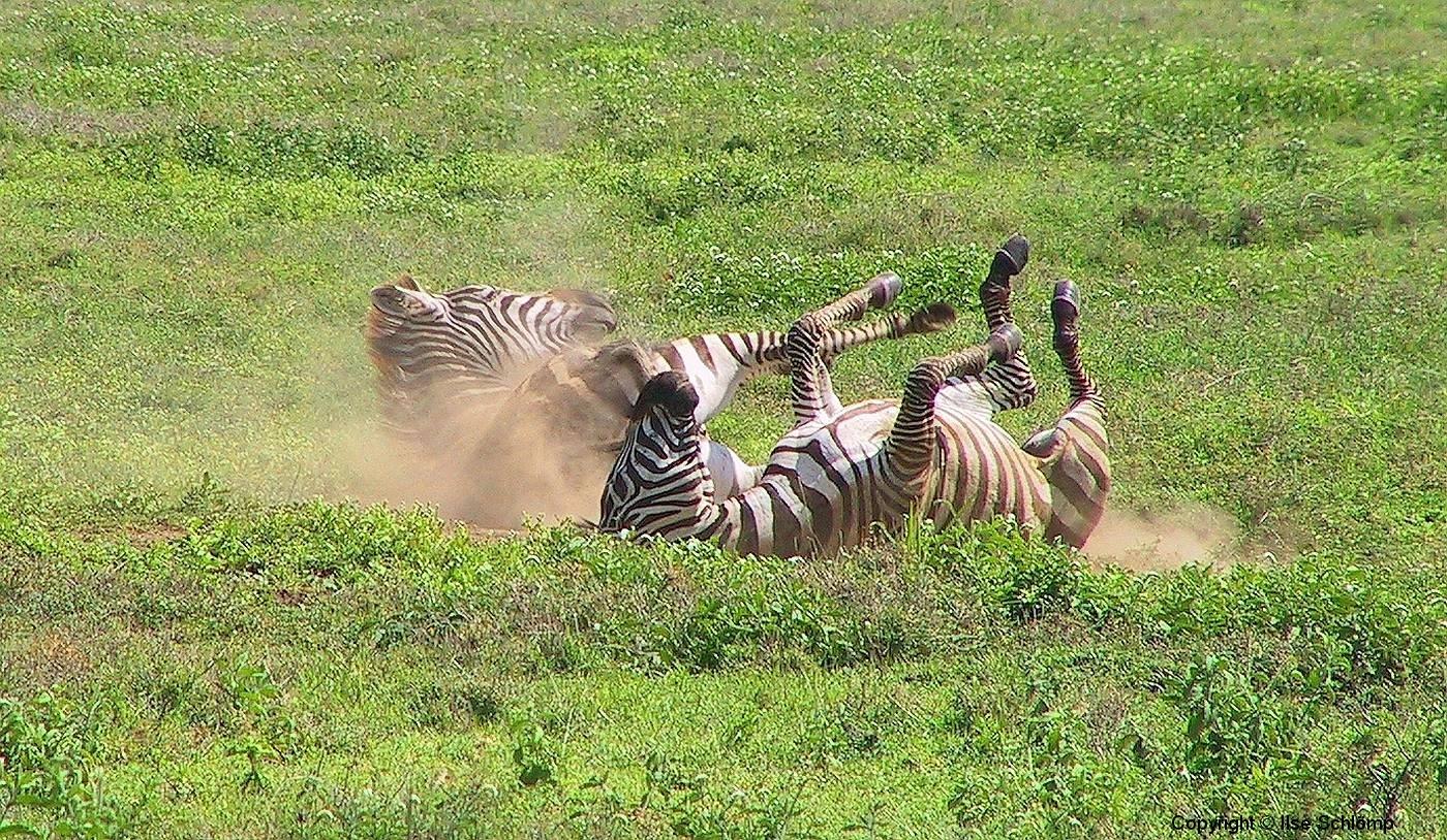 Tansania, Serengeti, Zebrafreude