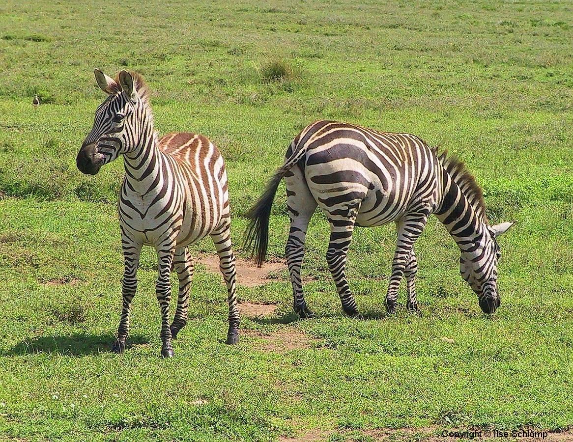 Tansania, Serengeti, Zebras