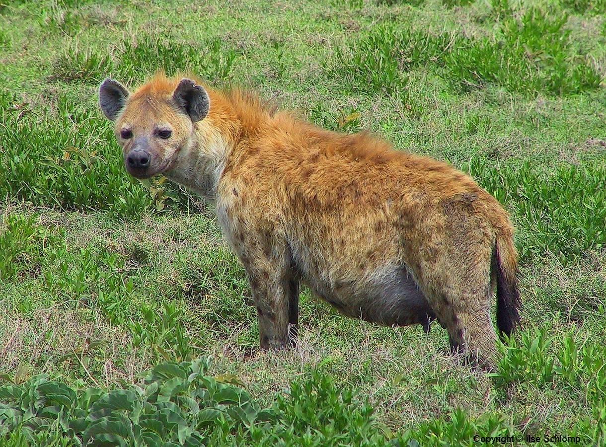 Tansania, Serengeti, Tüpfelhyäne