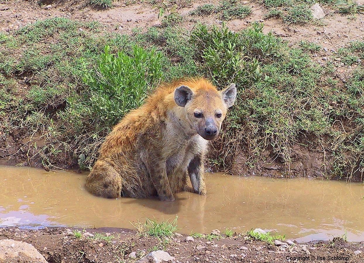 Tansania, Serengeti, Tüpfelhyäne kühlt sich den Bauch