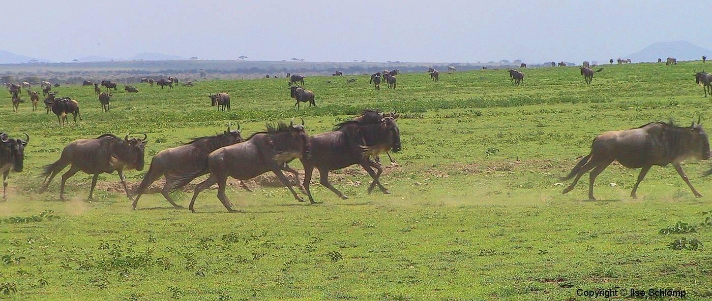 Tansania, Serengeti, Gnus, immer in Bewegung