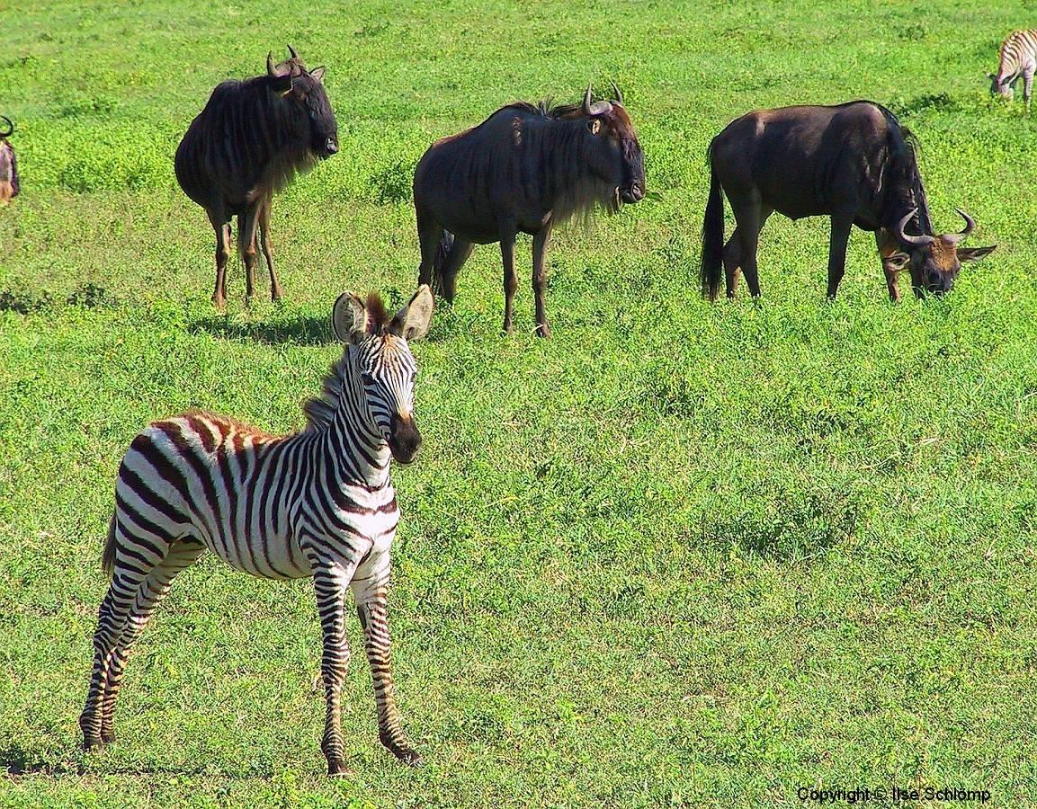 Tansania, Im Ngorongorokrater, Zebra und Gnus