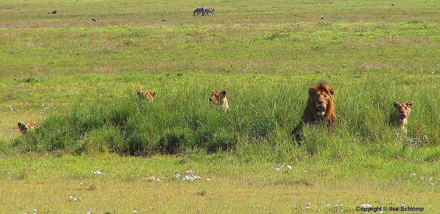 Tansania, Im Ngorongorokrater, Fünf Löwen bereiten sich auf die Jagd vor