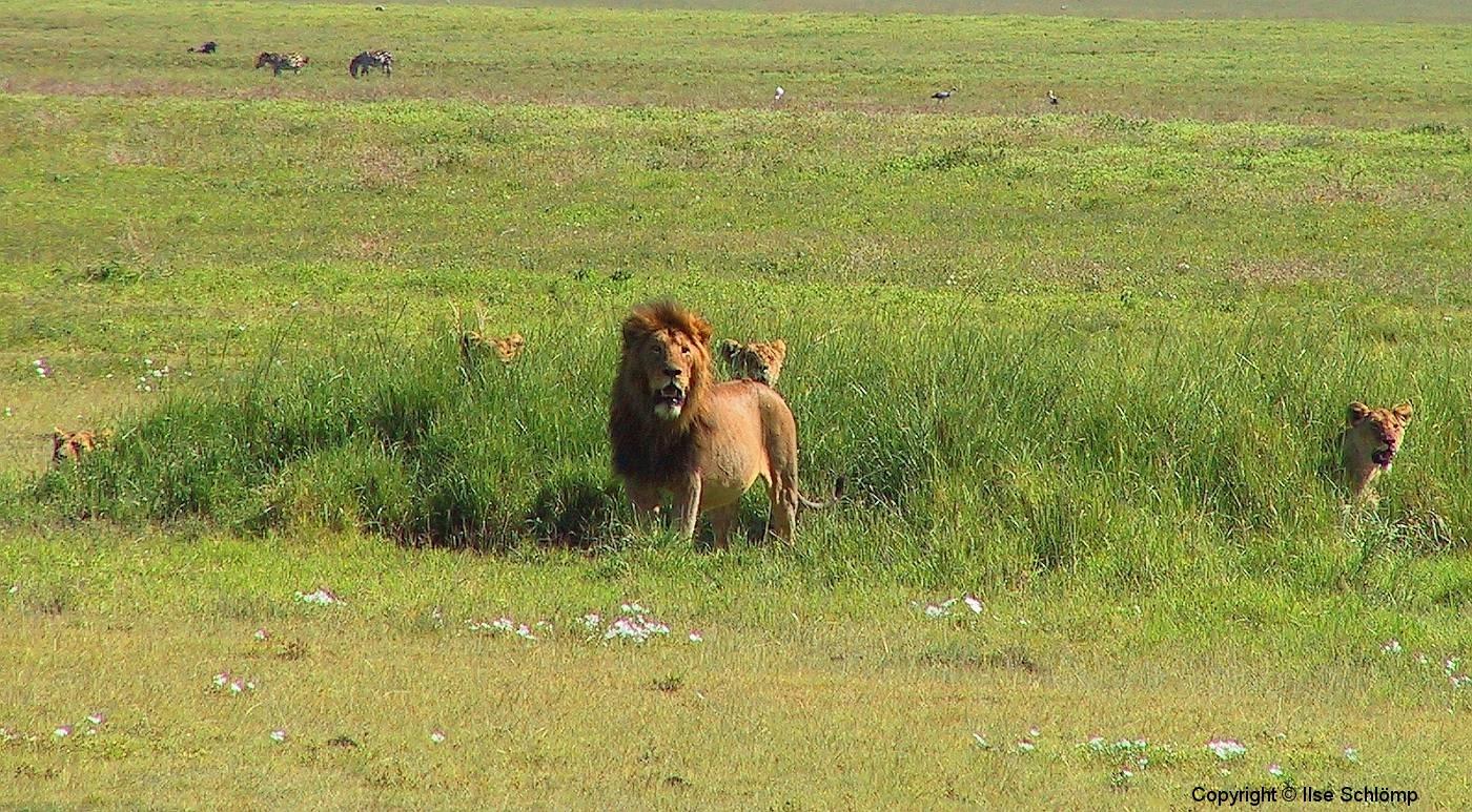 Tansania, Im Ngorongorokrater, Fünf Löwen bereiten sich auf die Jad vor
