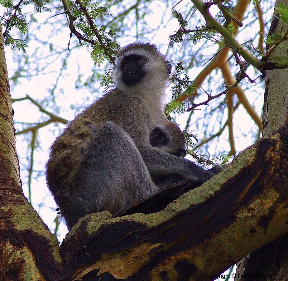 Tansania, Im Ngorongorokrater, Grüne Meerkatzen