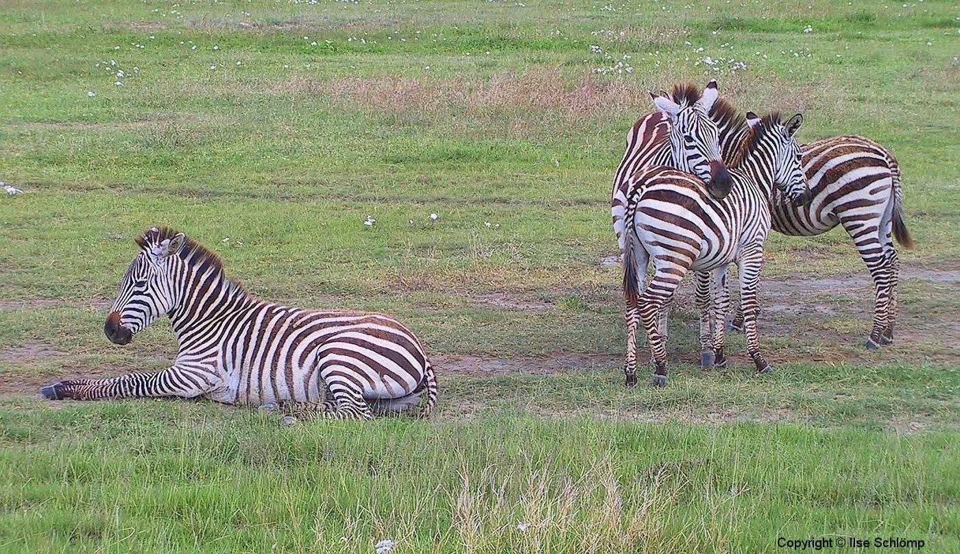 Tansania, Ngorongorokrater, Zebras