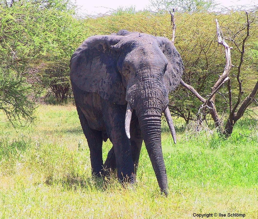 Tansania, Tarangire Nationalpark, Elefant