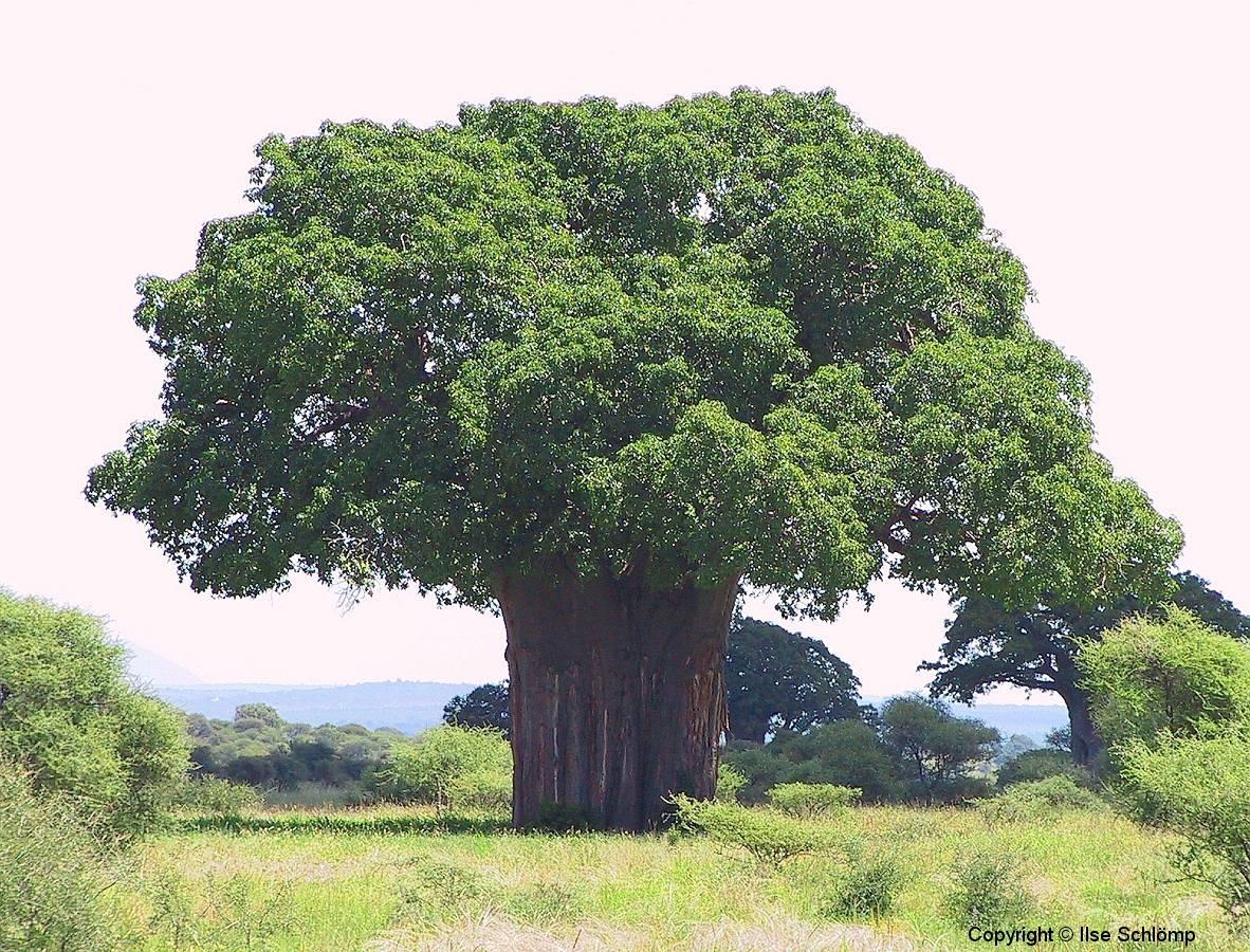 Tansania, Tarangire Nationalpark, Wunderschöner sehr alter Baobab-Baum