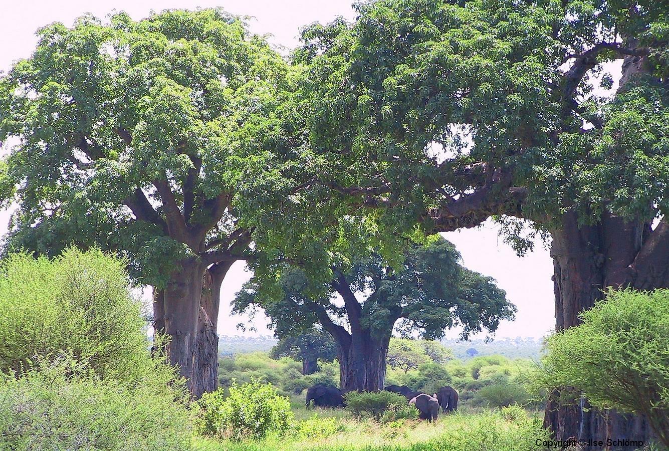 Tansania, Tarangire Nationalpark, Elefanten unter Baobab-Bäumen, Ein Bild wie aus einer anderen Welt